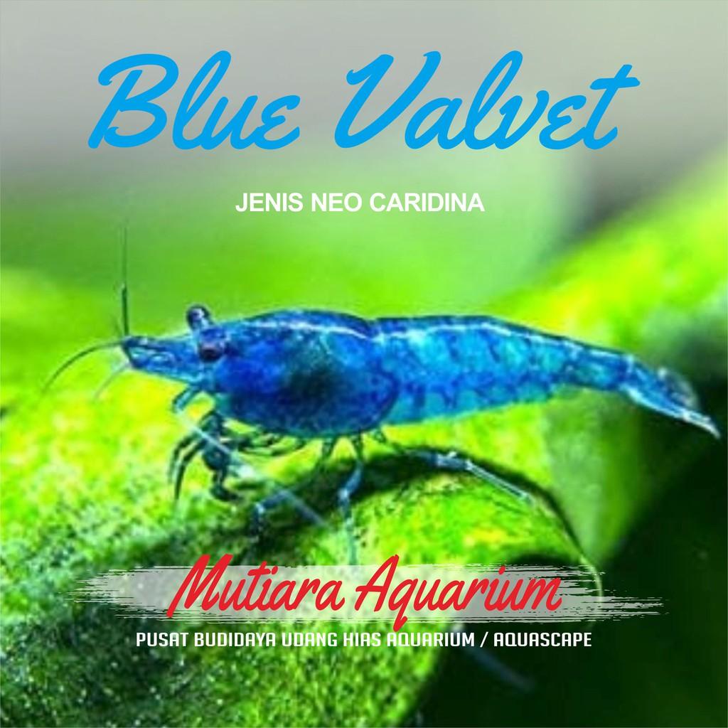 Udang Hias Blue Valvet Neocaridina Aquascape Aquarium Shopee Indonesia
