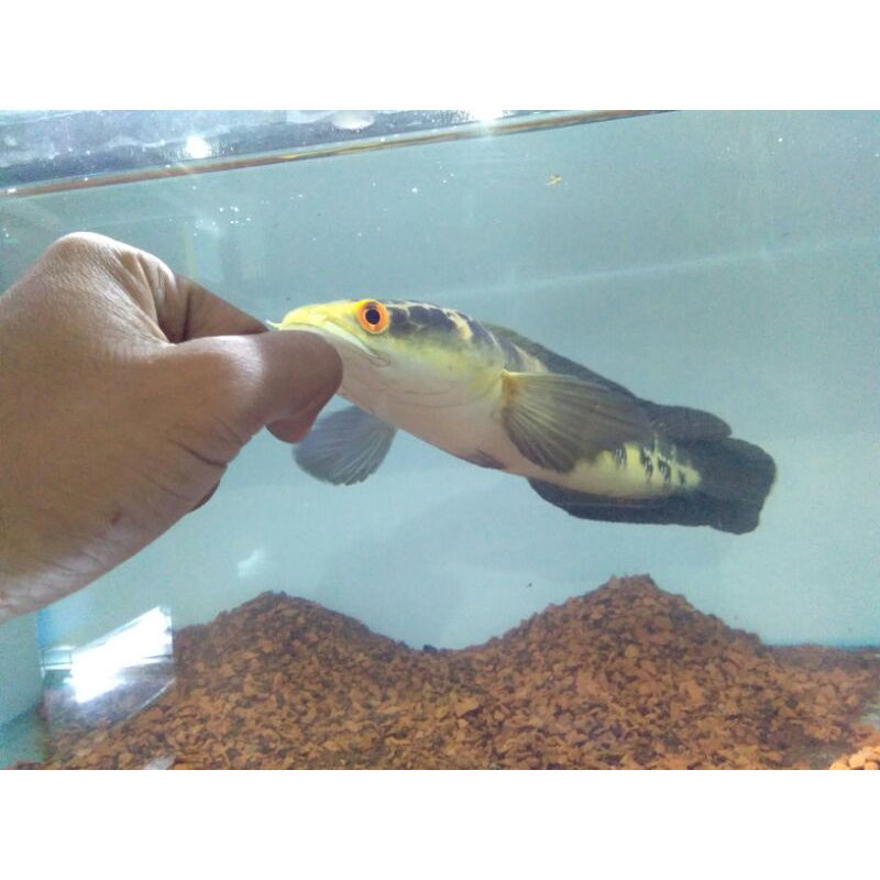 channa maru yellow RIAU 35cm+