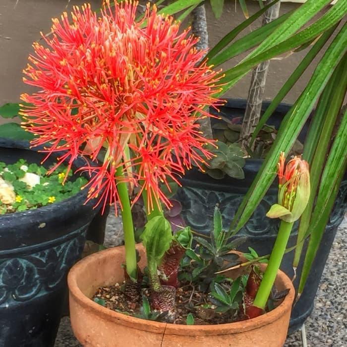 Bibit Tanaman Hias Bunga Blood Lily Bunga Desember Kembang Api Merah Shopee Indonesia