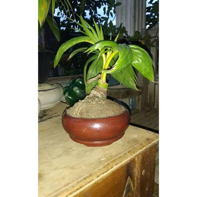 Bonsai Kelapa Mini Sudah Jadi Kelapa Kerdil Tanaman Bonsai