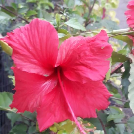 Tanaman Bunga Kembang Sepatu Hibiscus Merah Shopee Indonesia