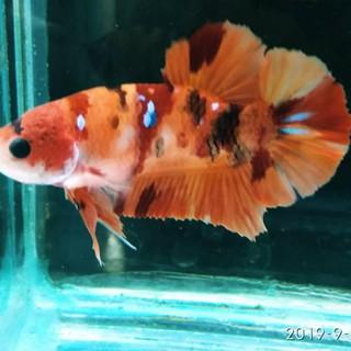 Ikan Cupang Plakat Nemo Emerald Sepasang Shopee Indonesia