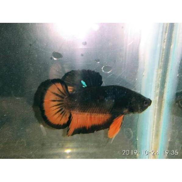 Rare Item Ikan Cupang Plakat Avatar Gordon Orx Shopee Indonesia