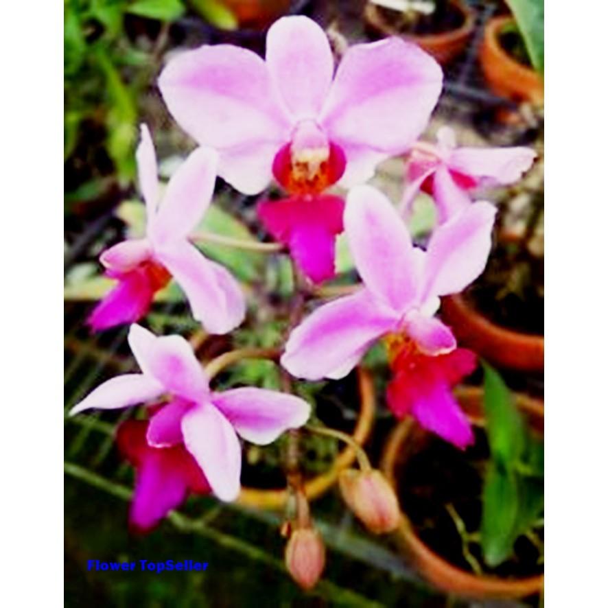 Anggrek Bunga Anggrek Anggrek Bulan Doritis Pulcherrima Bunga Anggrek Doritis Pulcherrima Shopee Indonesia