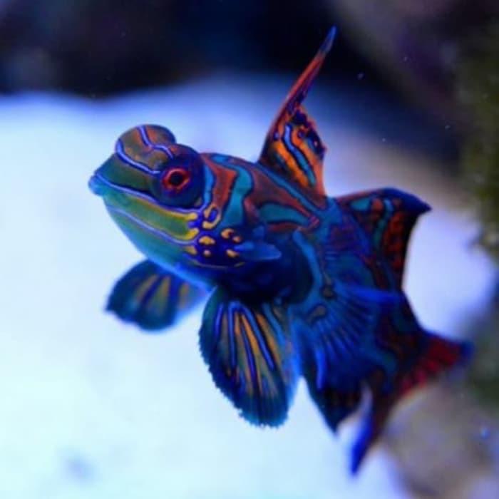 Ikan hias air laut - ikan Mandarin Asli