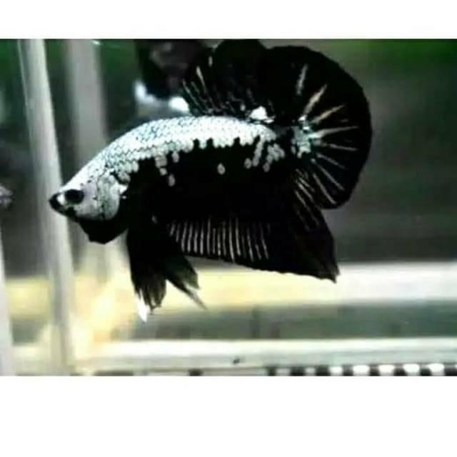 Ikan cupang black samurai jantan/betina | Shopee Indonesia