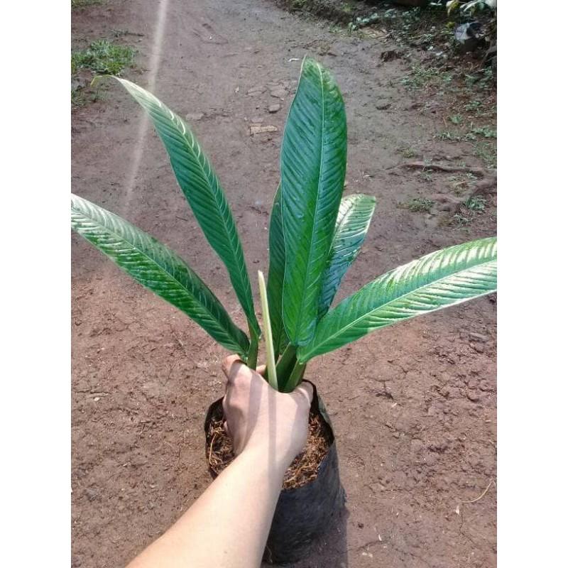 tanaman hias philo linet