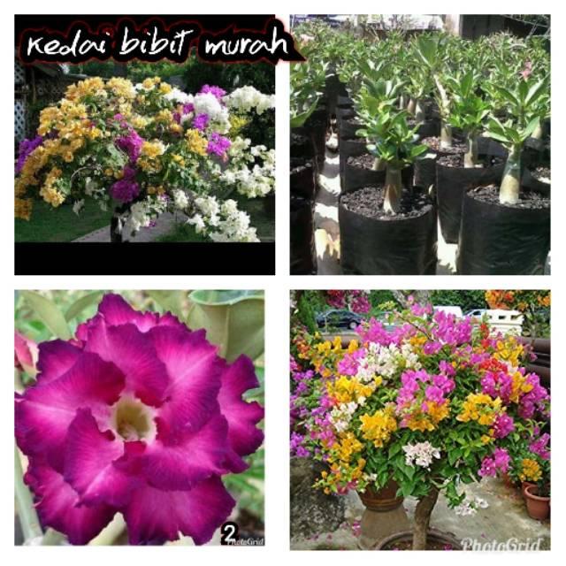 Bibit Bunga Kamboja Dan Bugenvil Shopee Indonesia