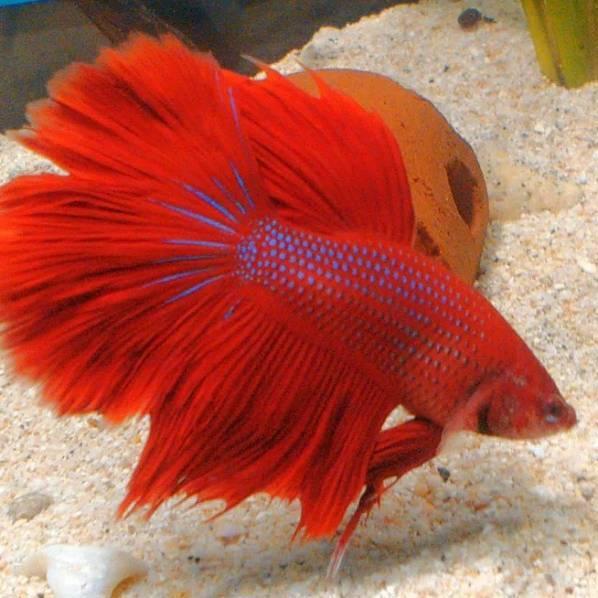 Dijamin Miring Harga Ikan Cupang Hias Halfmoon Super Red Shopee Indonesia