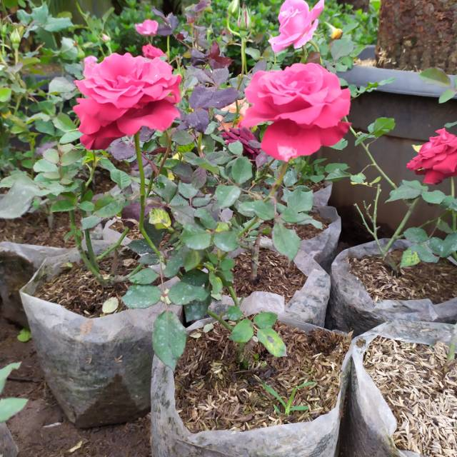 Tanaman Hias Pohon Bunga Mawar Merah Shopee Indonesia