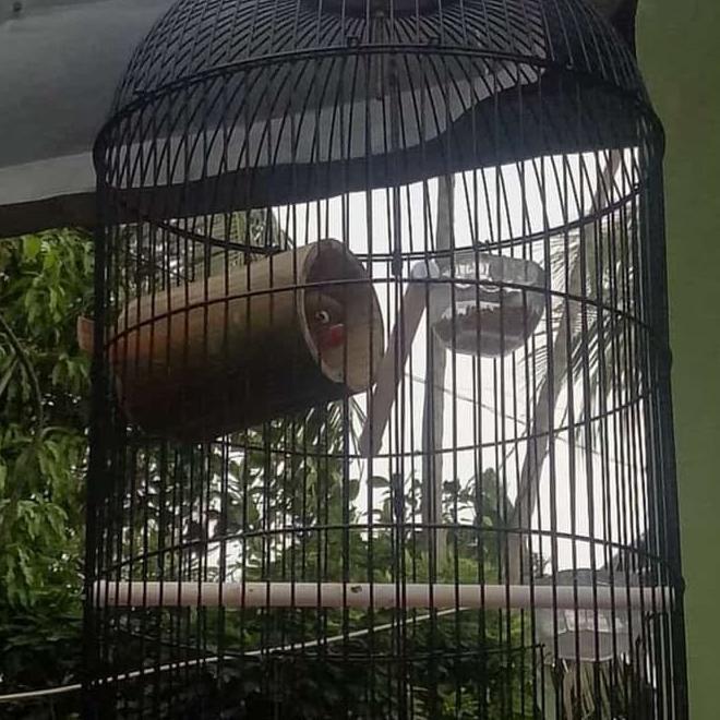 Special Februari Lagi Viral Bambu Gila Untuk Perpanjang Durasi Burung Lovebird Kode 194 Shopee Indonesia