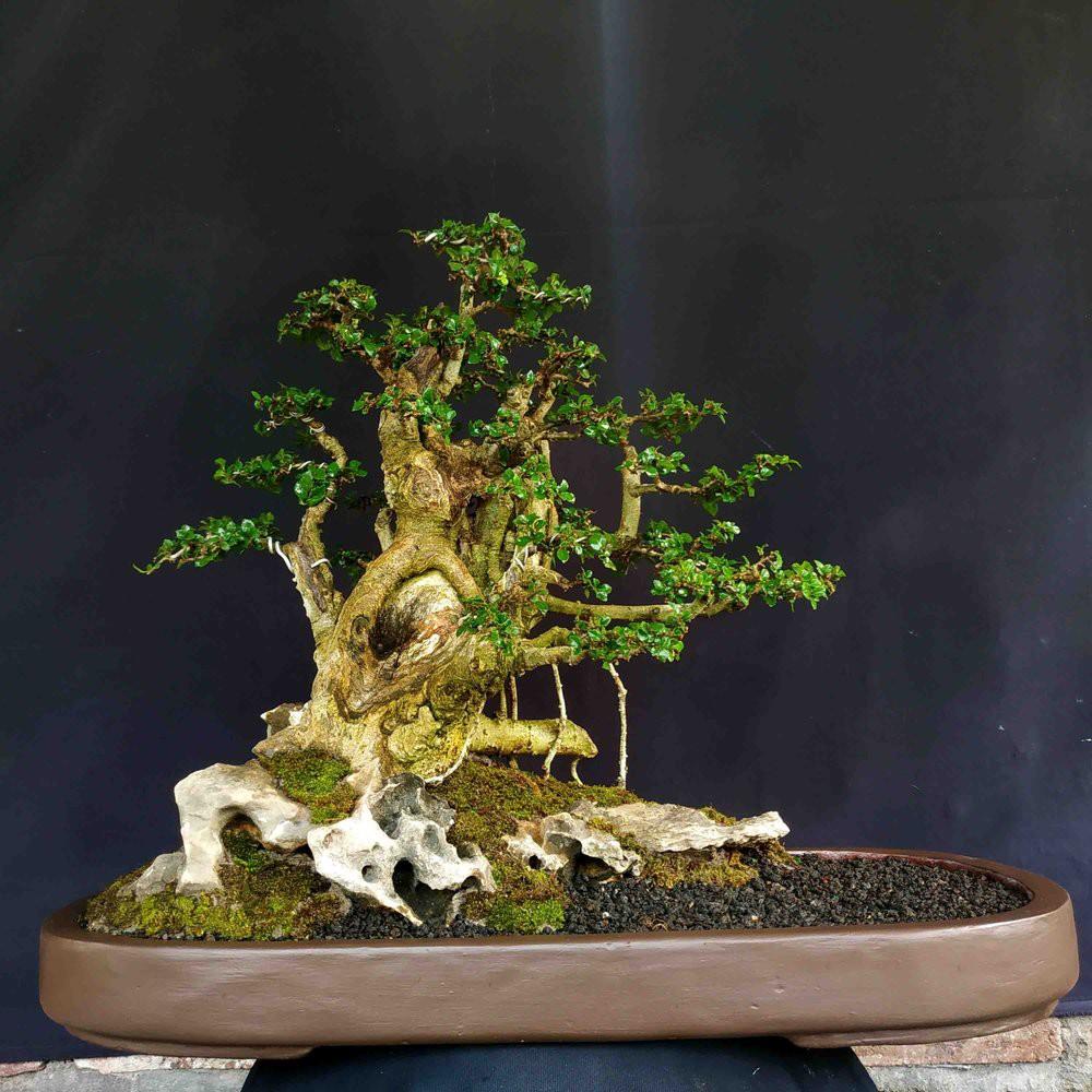 Bonsai Pohon Serut Raft Style Panorama Istimewa Elegan Shopee