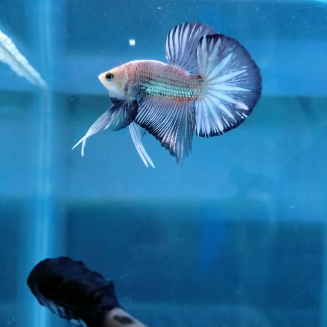 Ikan Cupang Bahan Kontes Sni Shopee Indonesia