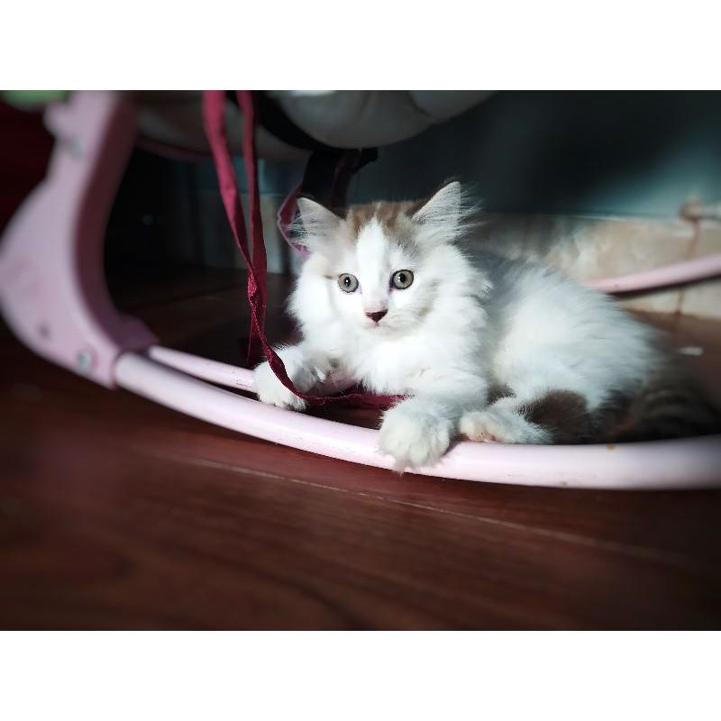 Adopsi Anak Kucing Persia