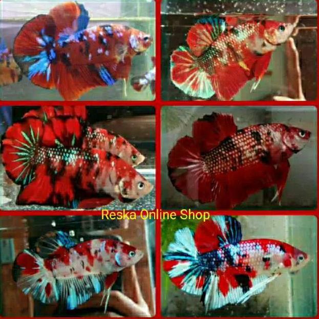 Kode Sz901 Ikan Cupang Giant Fancy Koi Multicollor Full Block Bo 6 Cm Shopee Indonesia