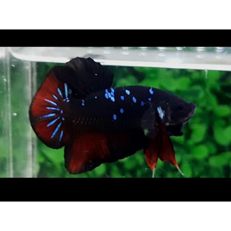 Ikan Cupang Avatar 5 Shopee Indonesia
