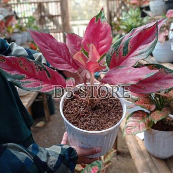 aglonema kocin camelon 5-10 daun /aglonema red kocin / tanaman hias aglonema / tanaman aglonema