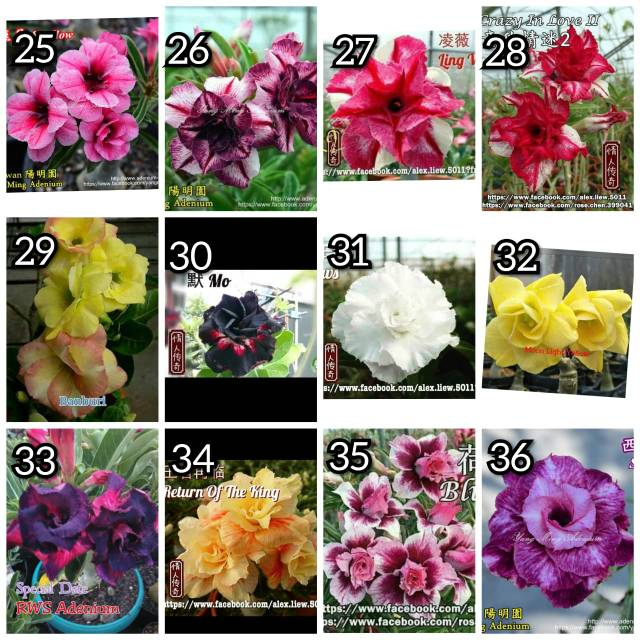 Bibit Bunga Kamboja Jepang Adenium Bunga Tumpuk Terbaru Shopee Indonesia