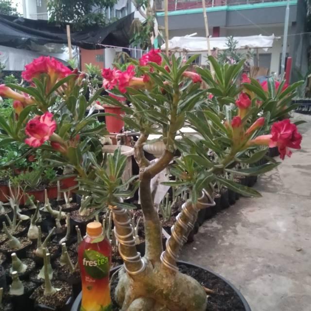 adenium Adenium bunga tumpuk bonsai adenium