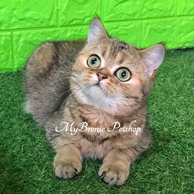 Jual Anak Kucing British Shorthair Murah 81021 Nama Untuk Kucing Comel Lucu Dan Unik