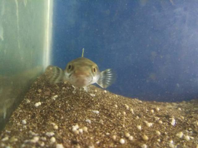 Channa Pulchra Blue 7 Cm Shopee Indonesia