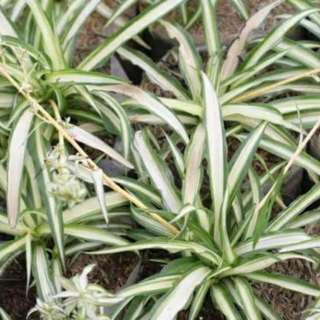 Tanaman Hias Bunga Lili Paris Spider Plant Bulu Ayam Shopee Indonesia