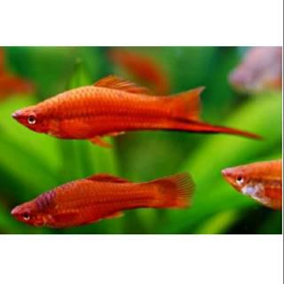Ikan Hias Platy Pedang Pasangan Shopee Indonesia