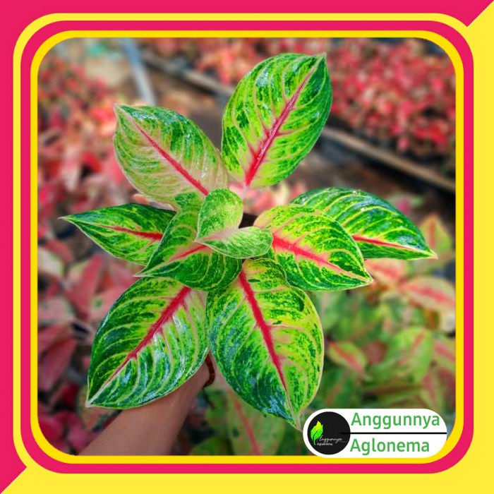 ✅COD Aglonema  jackpot / tanaman aglonema jackpot  /aglonema murah