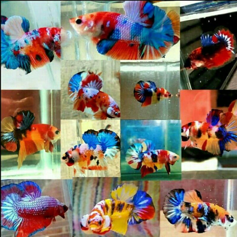 Anakan Burayak Ikan Cupang Koi Fancy Nemo Candy Multicolour Galaxy Multicolor Shopee Indonesia