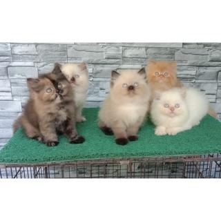 Harga Kucing Bengal Terbaik Hobi Koleksi Agustus 2021 Shopee Indonesia