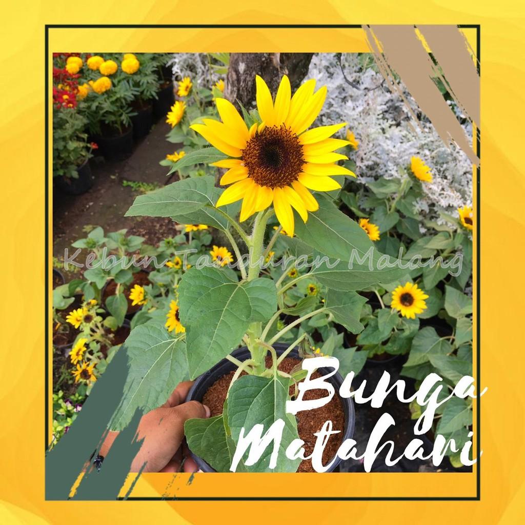 Bibit Bunga Matahari Pohon Bunga Matahari Hidup Bukan Biji Benih Bunga Matahari Shopee Indonesia