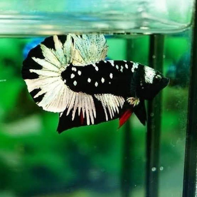 Ikan Cupang Sepasang Avatar Gold Cooper
