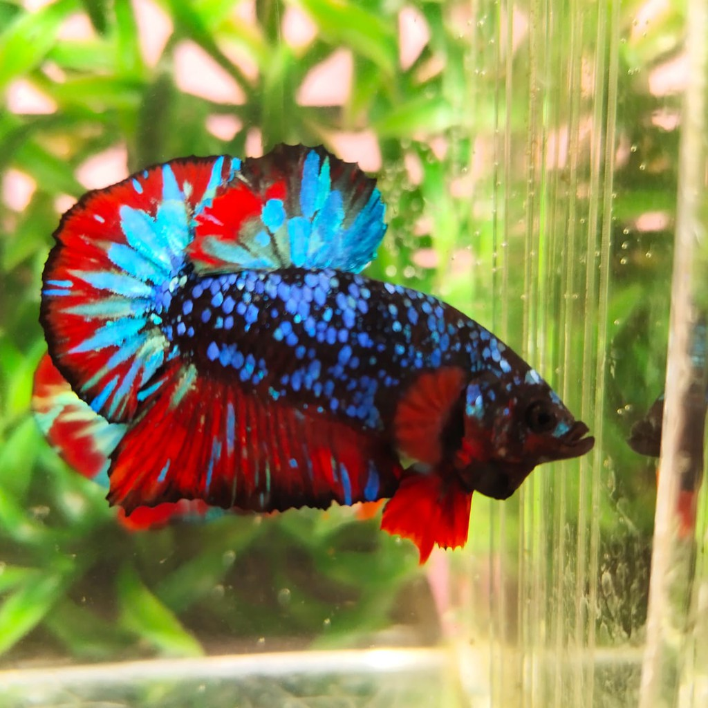 Ikan Cupang Avatar Gordon Black Nemo Emerald Male Jantan Grade Siap Breed Pakan Ikan Shopee Indonesia