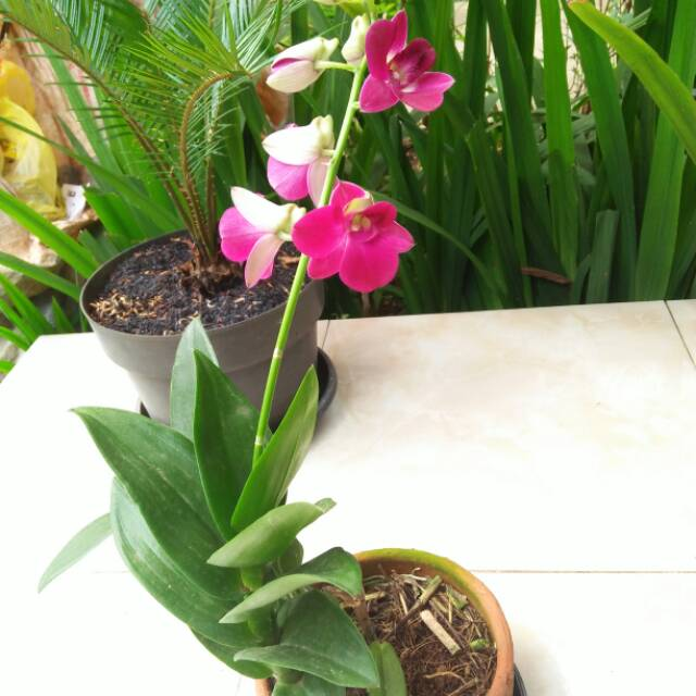 Tanaman Hias Bunga Anggrek Cantik Shopee Indonesia
