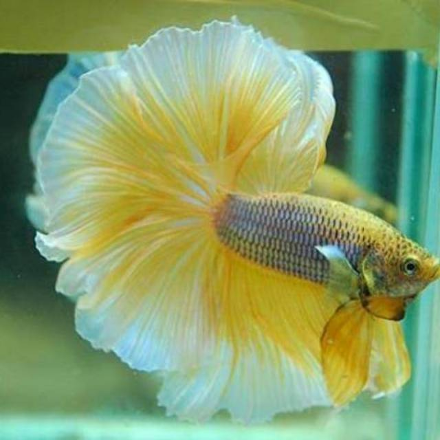 Ikan Cupang Halfmoon Rosetail Paket 2 Ekor Shopee Indonesia