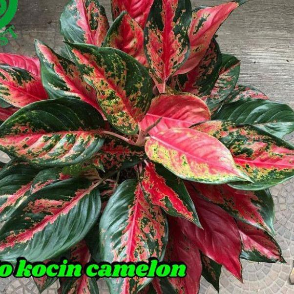 KZJV aglonema kocin camelon indukan /aglonema red kocin / tanaman hias aglonema / tanaman aglonema .