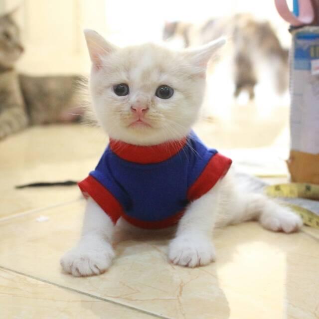 Download 94+  Gambar Kucing Lucu Pake Wig Terbaik HD