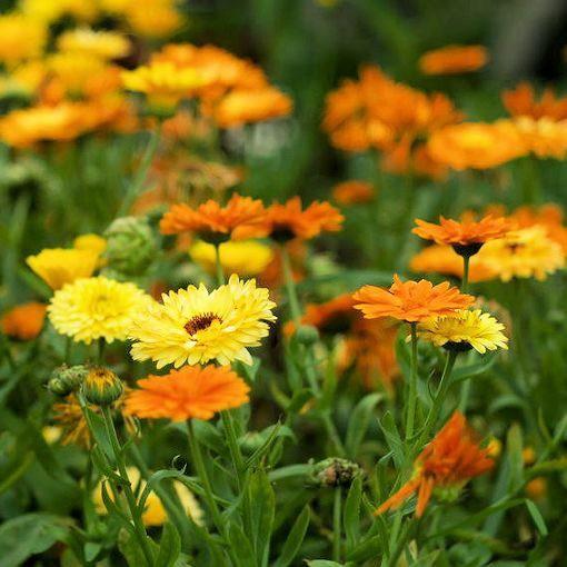 Benih Bibit Bunga Calendula Pacific Beauty Mix Haira Seed Shopee Indonesia