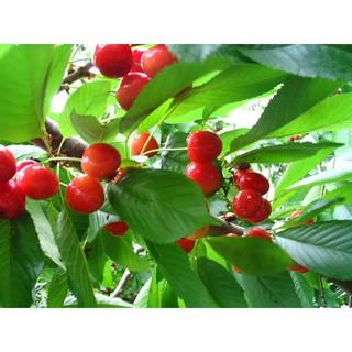 Amefurashi Bibit / Benih / Seeds Buah Beach Cherry Cocok Daerah Panas dan .