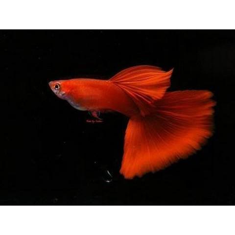 Ikan Guppy AFR (Albino Full Red) Sepasang Ikan Hias ...