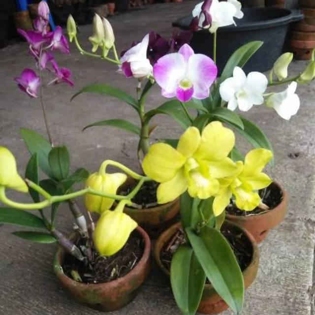 Tanaman Hias Bunga Anggrek Bunga Kuning Pohon Anggrek Shopee Indonesia