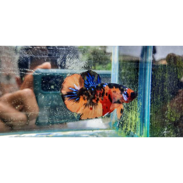 Ikan Cupang Nemo Galaxy Yellow Base 013 Shopee Indonesia
