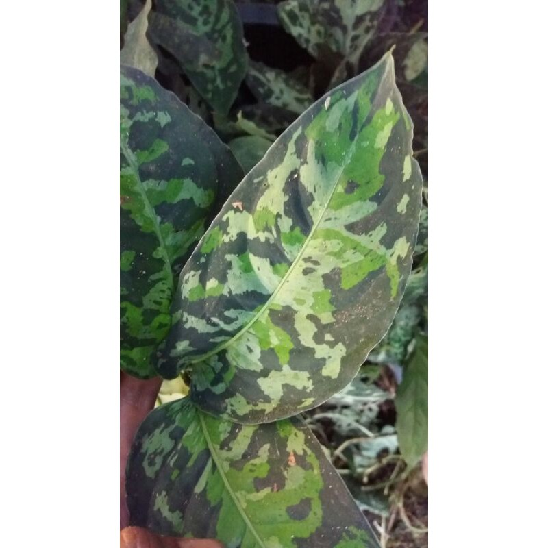 Aglaonema pictum three colour
