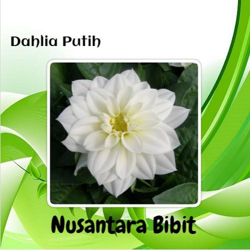 Bibit Bunga Dahlia Putih Shopee Indonesia