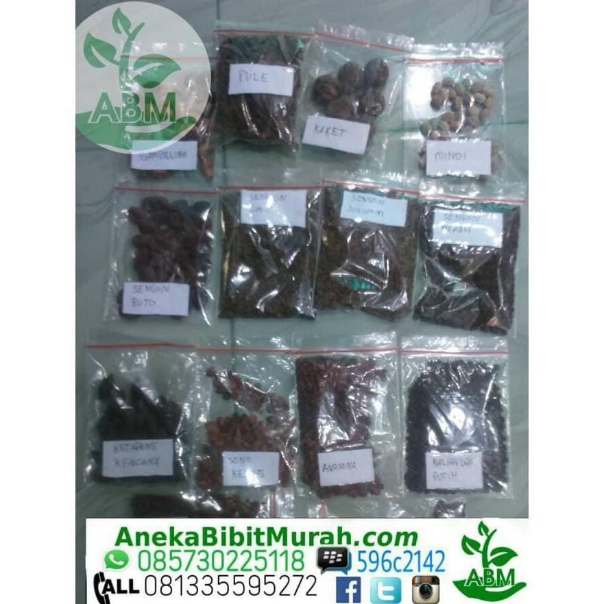 READY BIJI SENGON SOLOMON KEMASAN 1 ONS/ BIBIT /BIJI / BENIH TERLENGKAP