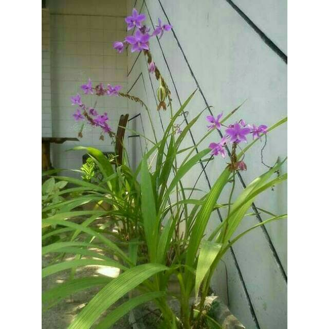 Tanaman Hias Bunga Anggrek Tanah Ungu Shopee Indonesia