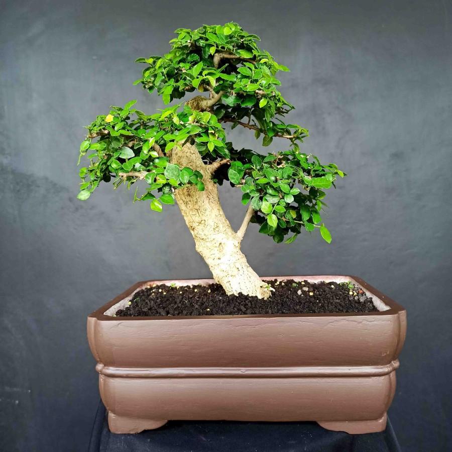 Bonsai Tanaman Hias KPITB1164 Pohon Serut Mini