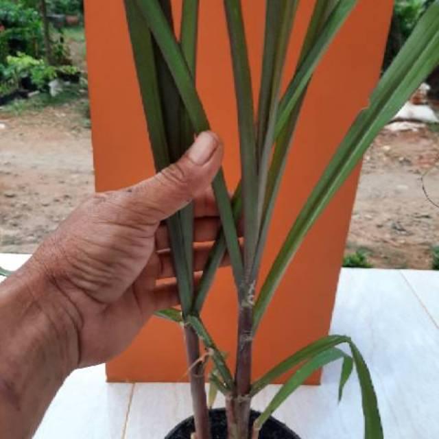 Bibit Pohon Tebu Hitam Tebu Ireng Siap Tanam Shopee Indonesia