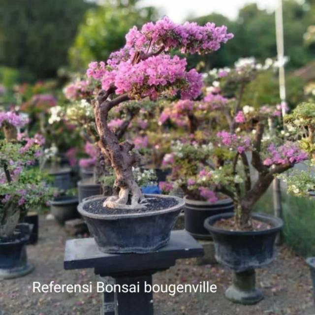 Dongkelan Tunggak Pohon Hidup Bahan Bonsai Bougenville Shopee Indonesia