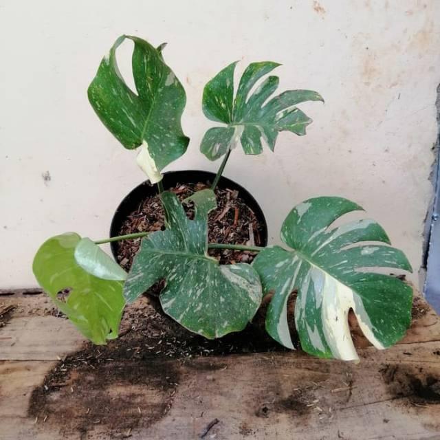 NEW PRODUCK!! Tanaman hias monstera variegata - monstera deliciosa variegata